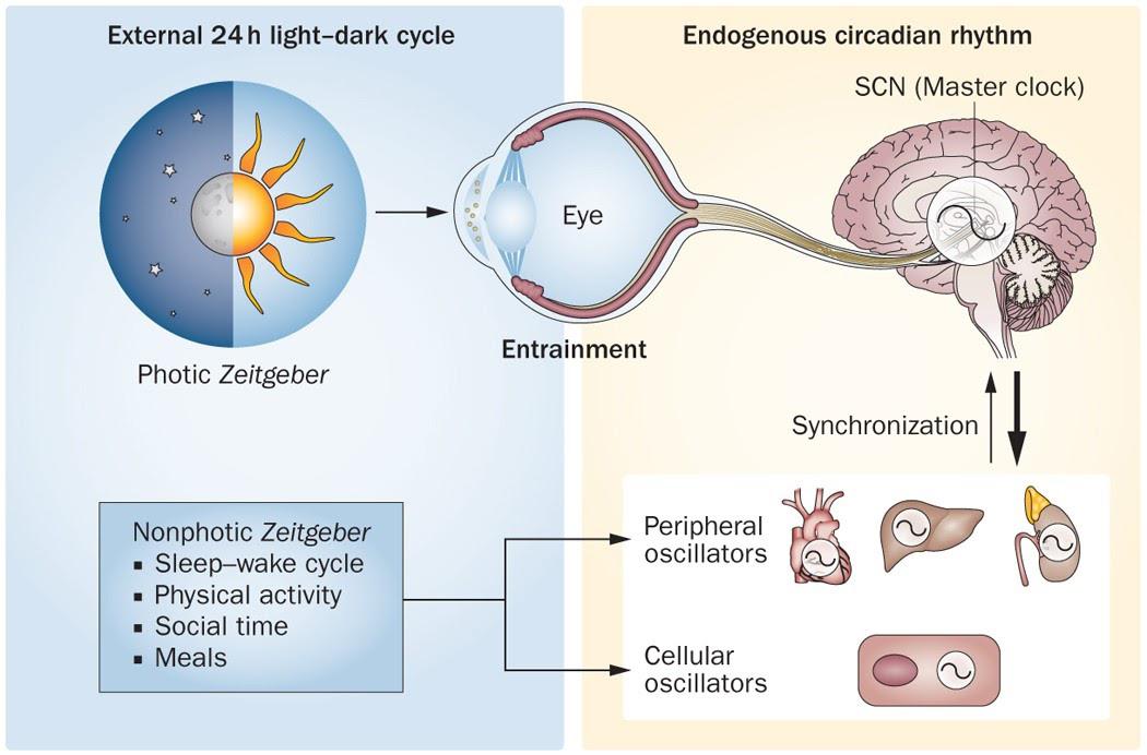 SCN/retina